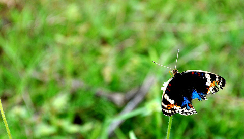 Image: Butterfly with tattered wings